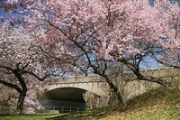 Pink Blossoms with Bridge