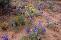 Canyonlands Lupines